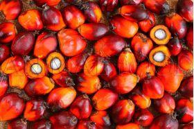 Palmové orechy (Elaeis guineensis)